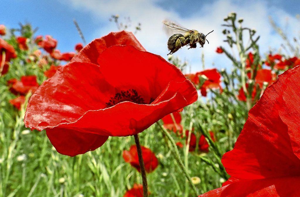 Noch fliegt die Biene auf den Feldern Baden-Württembergs – doch insbesondere der Einsatz von Pestiziden stellt eine Bedrohung für das  Insekt dar. Foto: dpa/Thomas Warnack
