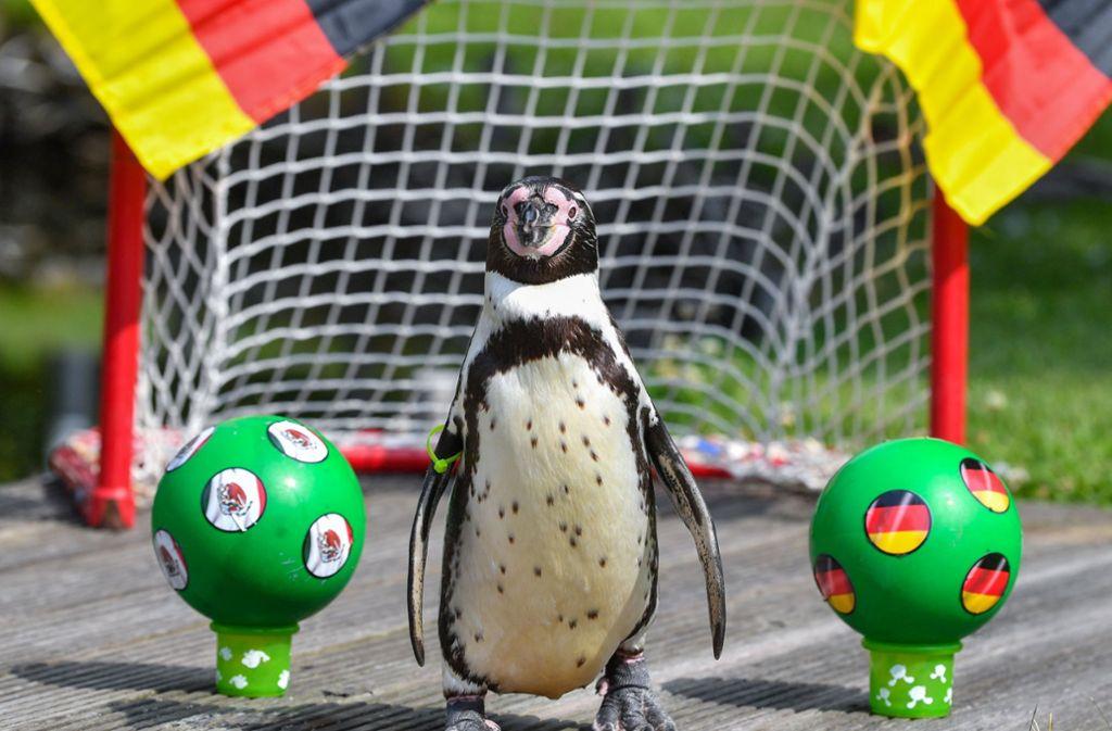 Pinguin Flocke hat sich klar auf Schweden festgelegt. Andere Tier-Orakel pflichteten ihm bei. Foto: dpa-Zentralbild