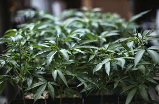 UN-Behörde streicht Cannabis von Liste der gefährlichsten Drogen