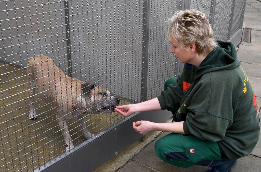 Ein Staffordshire-Terrier-Mischling wird in einem Gehege im Tierheim Hannover von einer Mitarbeiterin gefüttert. Foto: dpa
