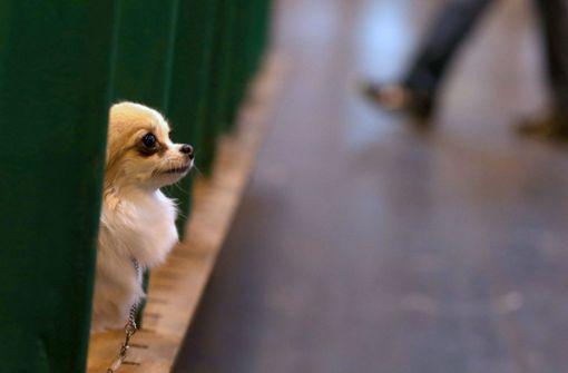 Besitzer wirft misshandelten Chihuahua von Brücke