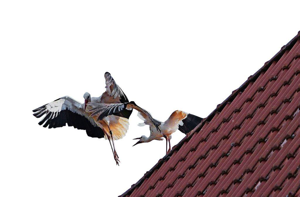 Zozu (rechts) legt sich mit einem anderen Storch an Foto: Wickert