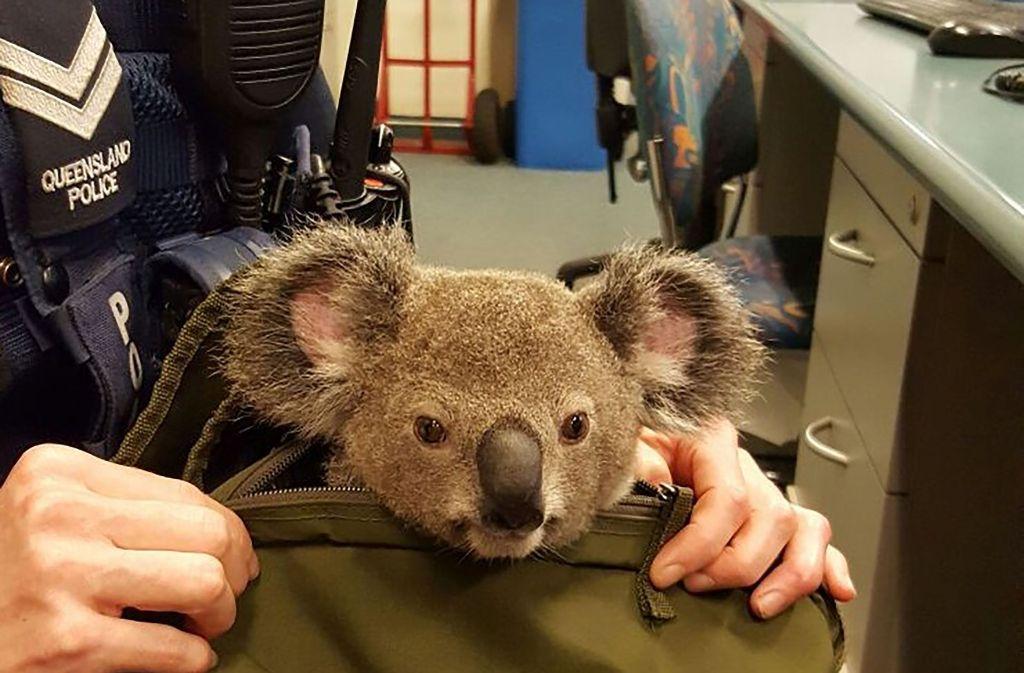 Guckguck: Der Koala soll etwa sechs Monate alt sein und wurde von einer Frau in einem Rucksack herumgetragen. Die Polizei hat das Tier in Obhut genommen. Foto: AFP