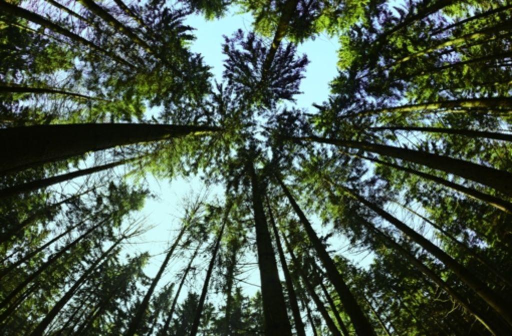 Ein Fichtenwald nimmt Sonnenstrahlen besser auf als Laubwald und hält so mehr Wärme auf der Erde. Foto: dpa