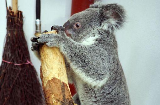 Erster Koala-Nachwuchs im Leipziger Zoo erwartet