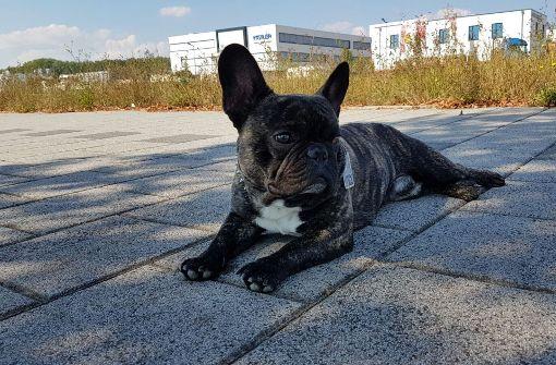 Bulldogge Jacky ist wieder zu Hause