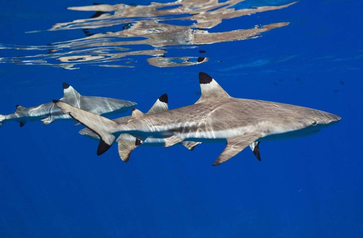 Schwarzspitzen-Riffhaie stellen in der Regel keine Gefahr für den Menschen dar. (Symbolbild) Foto: imago images/OceanPhoto/Reinhard Dirscherl