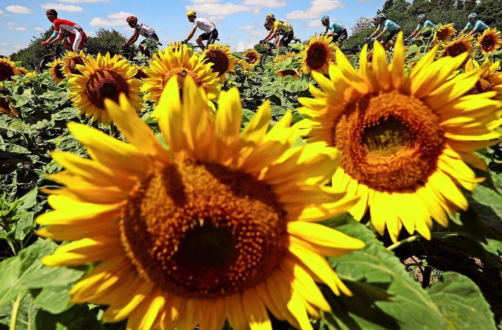 Mitten im  Sonnenblumenmeer: Das Peleton vor idyllischer Kulisse, doch wie steht es um das Reinheitsgebot im Radsport? Foto: Getty