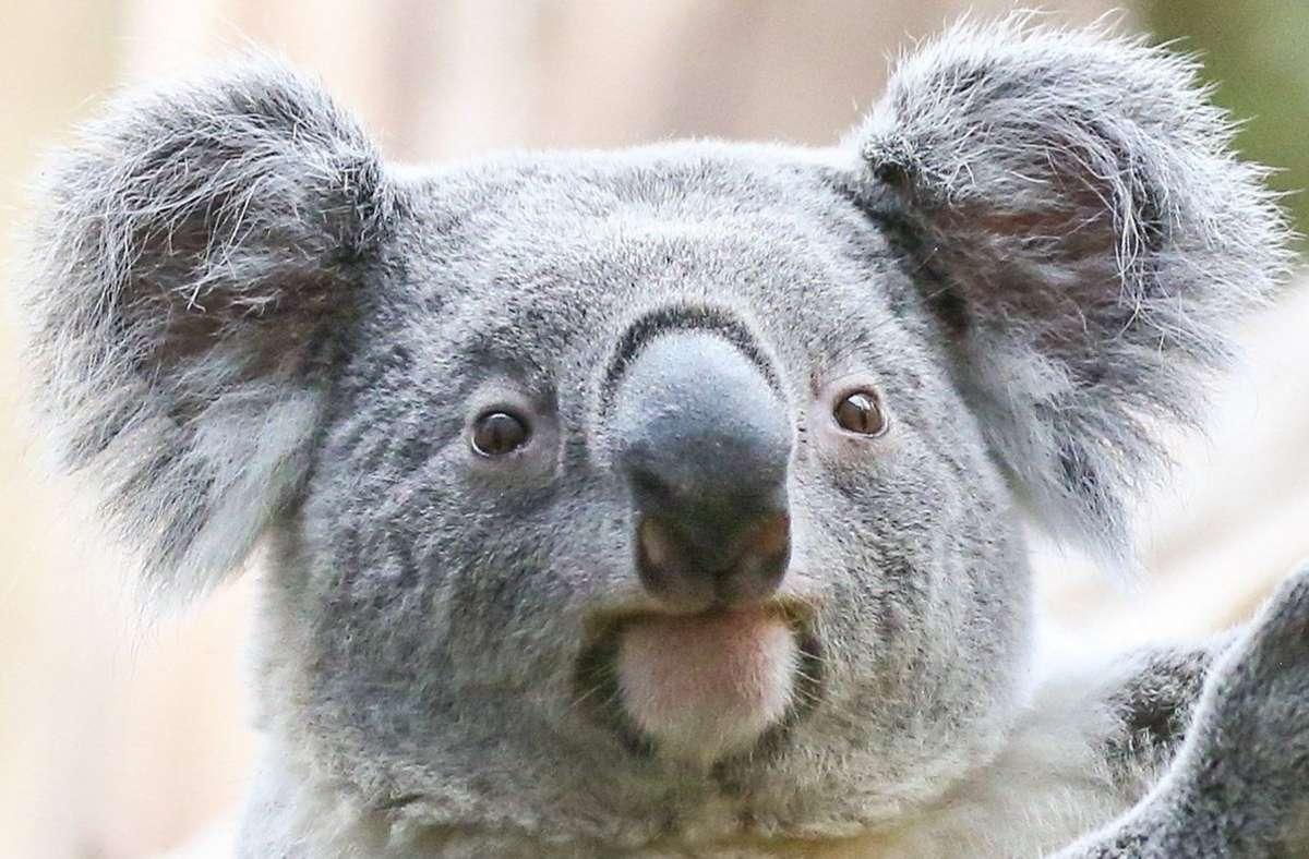 Neben Kugeln, Sternen und Lichtern hing ein Koala am Stamm, der es sich in der Kiefer gemütlich gemacht hatte (Symbolbild). Foto: dpa/Jan Woitas