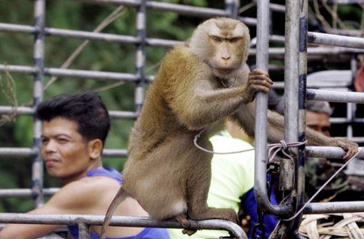 Affen werden zur Nussernte eingesetzt – Attacke von Tierschützern