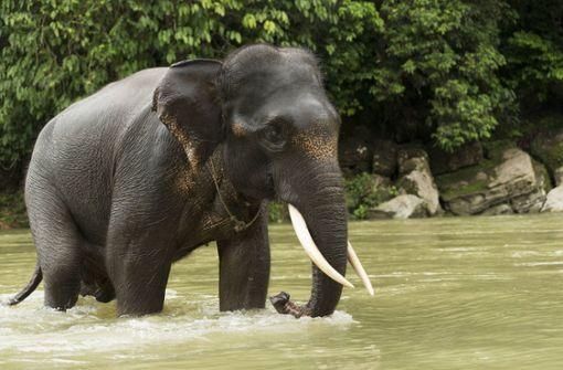 Tötung von seltenem Sumatra-Elefant sorgt für Empörung