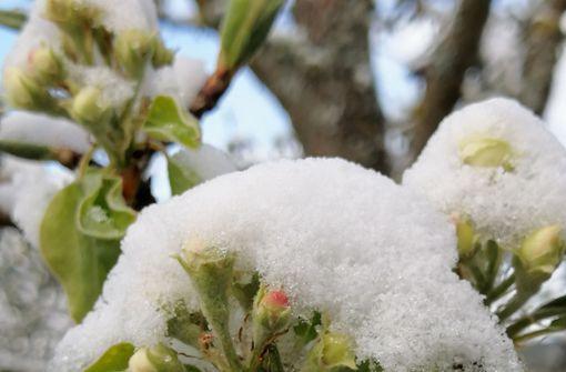 Spätfrost setzt  der Obstblüte zu