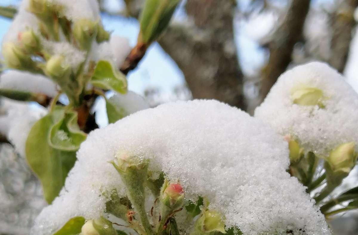 Birnenknospen unter einer Schneekappe Foto: /Bernd Epple