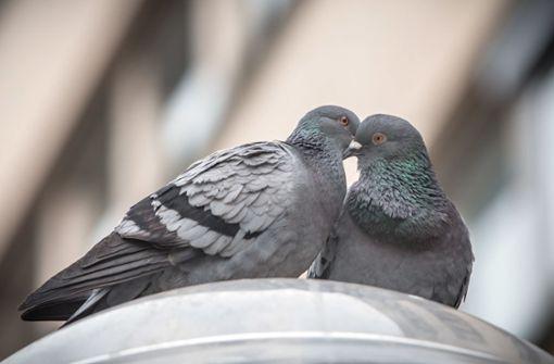 Tierschützer retten junge Tauben
