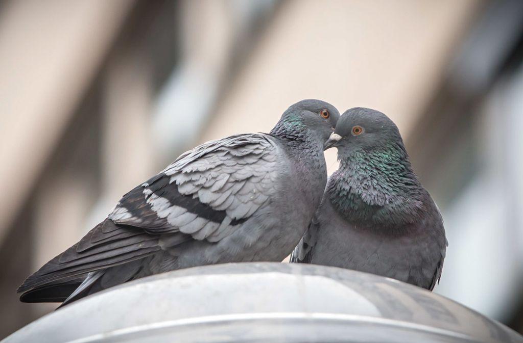 Das Stadttaubenprojekt kümmert sich um die Tauben in Stuttgart. Foto: Symbolbild Lichtgut/Achim Zweygarth