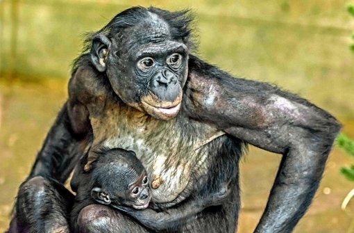 Kleiner Mann im Bonobo-Gehege