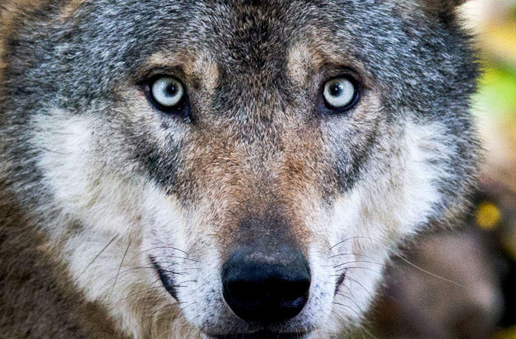 Ein Wolf  in einem Gehege im niedersächsischen Springe. Foto: