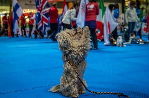 Hunde tanzen um den WM-Titel