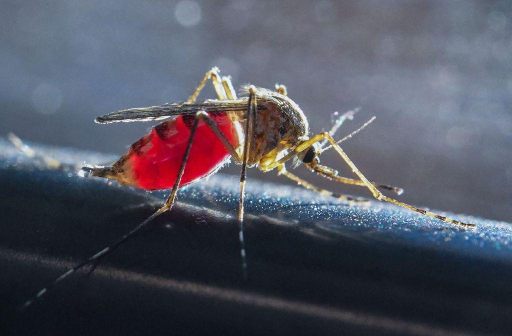 Wer es immer schon einmal sehen wollte: Eine mit Blut vollgesaugte Mücke aus der Nähe. Foto: dpa