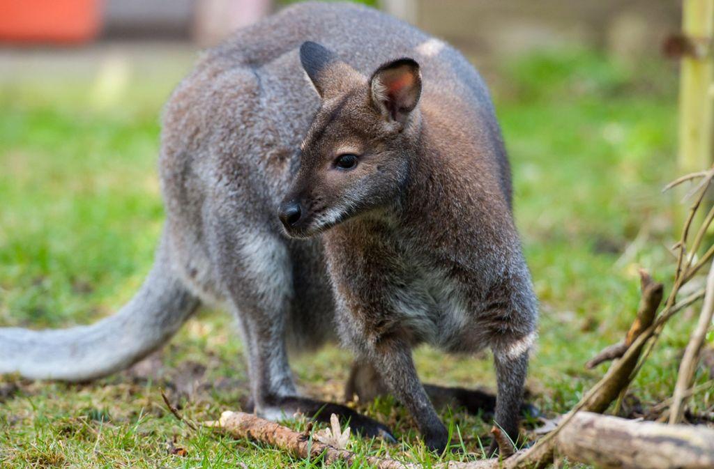 In China ist ein Känguru brutal getötet worden. Foto: dpa