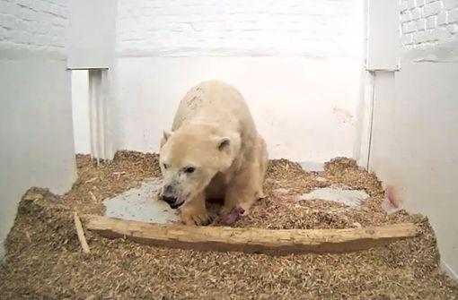 Berliner Eisbärenbaby ist tot