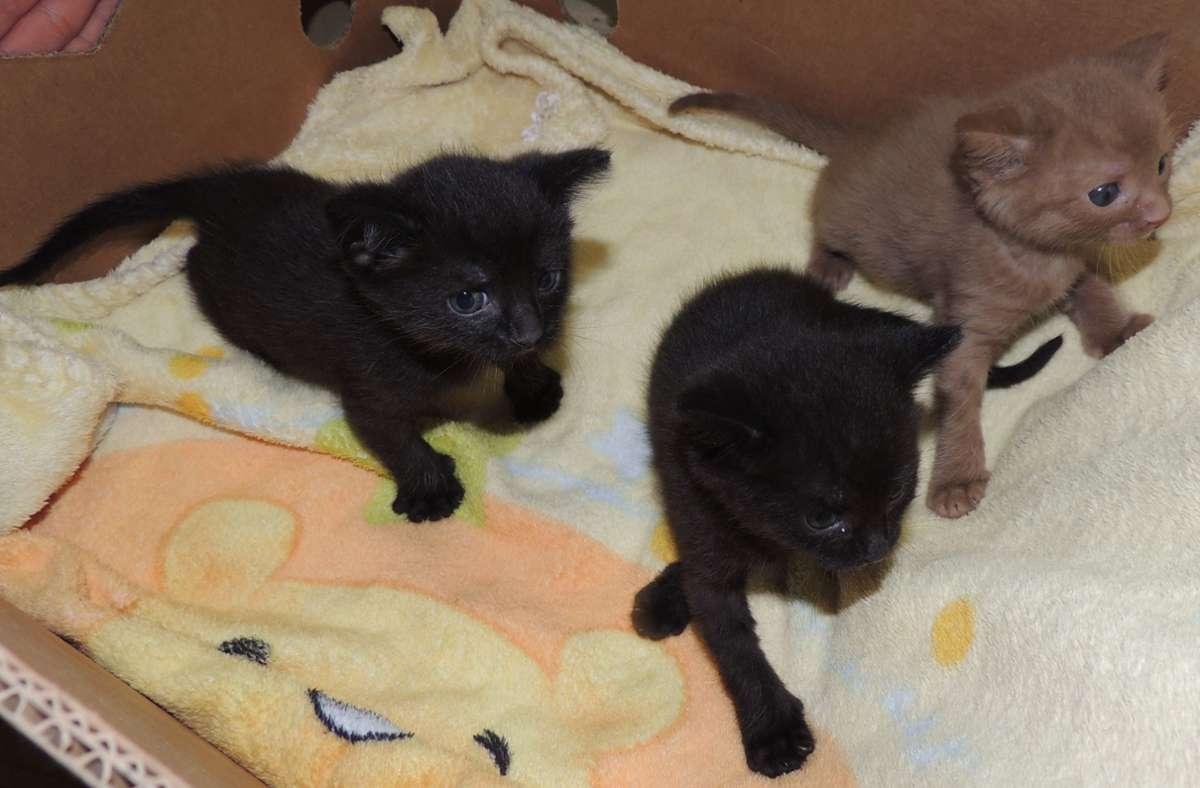 Unbekannte hatten die drei Katzenbabys in Feuerbach ausgesetzt. Foto: Tierheimleitung Stuttgart