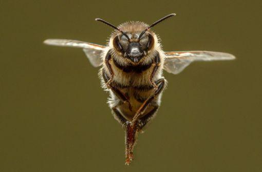 Mysteriöse Waldbienen