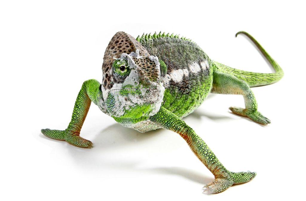 Das Halten  eines Chamäleons – hier ist ein Warzenchamäleon zu sehen –  erfordert viel Fachwissen. Foto: dpa