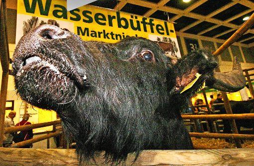 Wasserbüffel dürfen ins Bottwartal