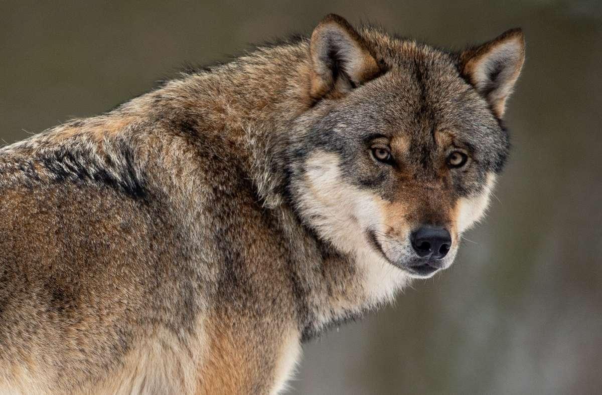 Steckt ein Wolf hinter den vier toten Schafen in der Gemeinde Mühlenbach im Schwarzwald? (Symbolfoto) Foto: dpa/Swen Pförtner