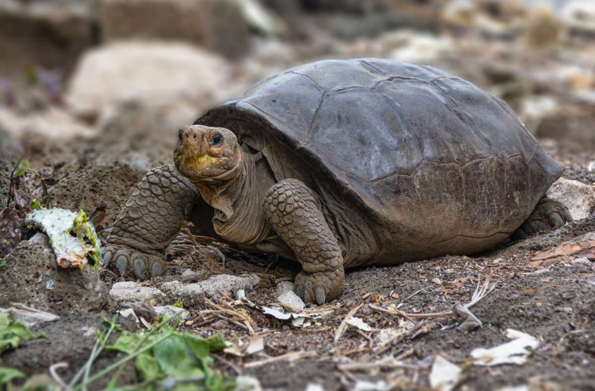 Die Spezies Chelonoidis phantasticus, eine vermeintlich ausgestorbene Riesenschildkröte, ist auf den  Galapagos Inseln entdeckt worden. Foto: Diego Bermeo/Parque Nacional Galápagos/dpa