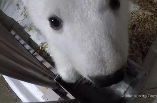 Süßes Eisbären-Baby ist bereit für den ersten Auftritt