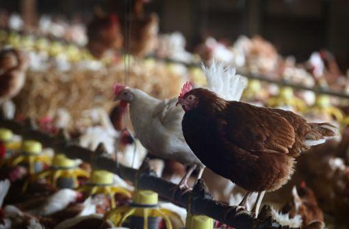 190.000 Hühner müssen geschlachtet werden