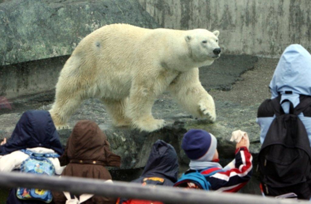 Der grausame Tod von Eisbär Anton in der Stuttgarter Wilhelma wird nach Expertenmeinung wohl kein Einzelfall bleiben. Foto: dpa