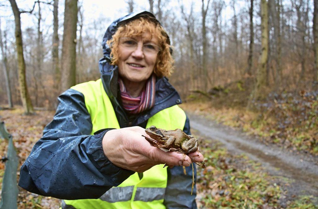 Ein Prachtexemplar von Grasfrosch: Die Nabu-Ehrenamtliche Elke Tetens  hilft den Amphibien bei ihrer Wanderung vom Wald zu den Laichplätzen im Tiefenbachtal über  die viel befahrene Frauenkopfstraße. Foto: Kuhn
