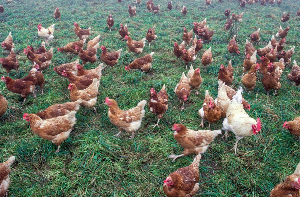 Nicht nur 40 Hühner, auch Enten und Gänse haben die unbekannten Diebe mitgehen lassen (Symbolbild). Foto: dpa