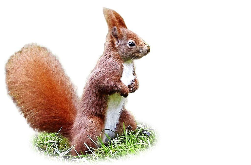 Vom Wetter verwirrt: Eichhörnchen brauchen Hilfe, um den Winter zu überstehen. Foto: dpa