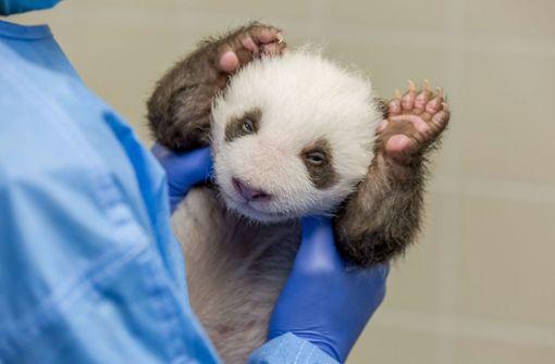 Die Milch macht's – Mini-Pandas wachsen tüchtig
