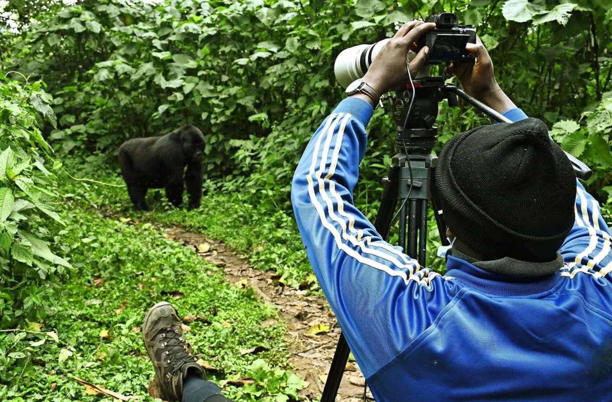 Bitte recht freundlich! Gorillas sind ein beliebtes Fotomotiv im grünen Uganda. Foto: imago images/Xinhua/Ronald Ssekandi via