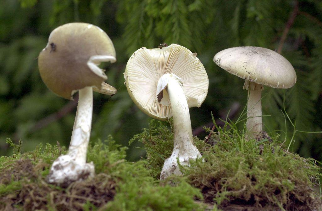 Finger weg! Um den Grünen Knollenblätterpilz sollten Sammler einen Bogen machen – er ist giftig! Foto: dpa