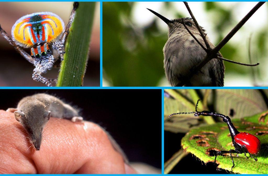 Pfauenspinne, Bienenelfe, Etruskerspitzmaus, Giraffenhalskäfer: Vier Beispiele für tierische Weltmeister und Rekordhalter. Foto: Wikipedia