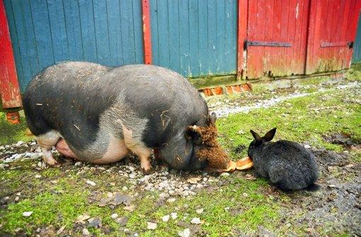 balingen ein schwein namens wuse baden w rttemberg stuttgarter zeitung. Black Bedroom Furniture Sets. Home Design Ideas