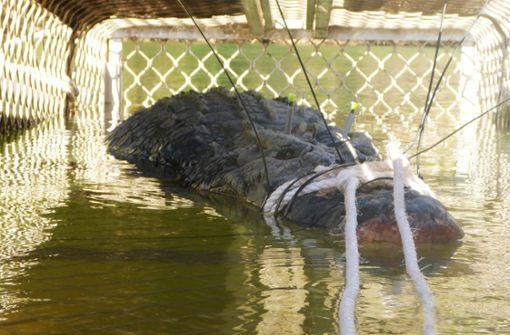 Monster-Krokodil gefangen