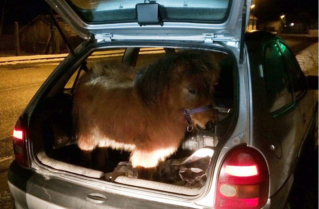 Sieht skurril aus: Ein Shetland-Pony ist in Brandenburg im Kofferraum eines Kleinwagens gereist Foto: Polizei Brandenburg/dpa/ZB