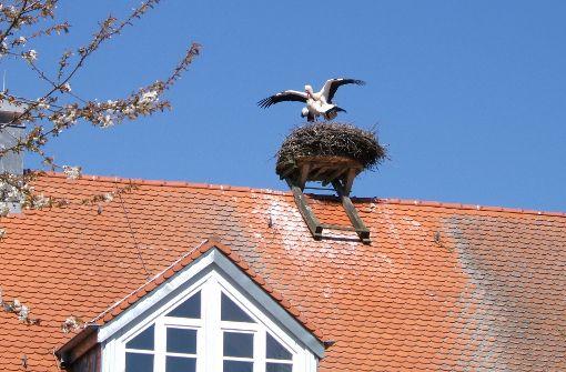 Auf Storchen-Sex folgt das Brüten