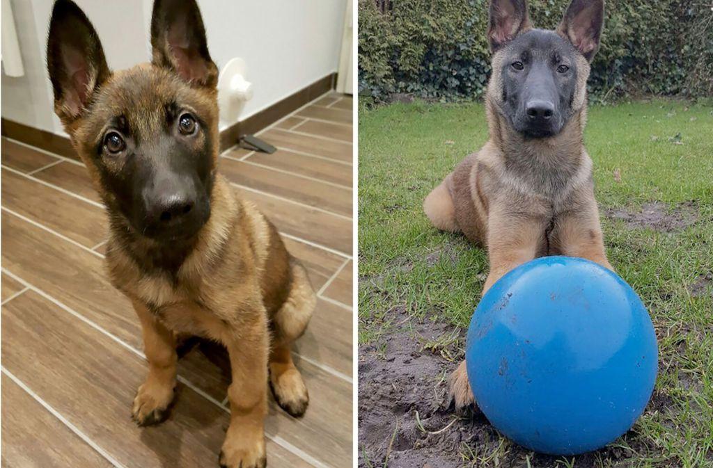 """Findel-Hund """"Jack"""" wird nun zum Polizeihund ausgebildet. Foto: Polizeidirektion Flensburg"""