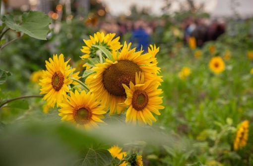 Trotz Regen gute Stimmung im Sonnenblumenfeld