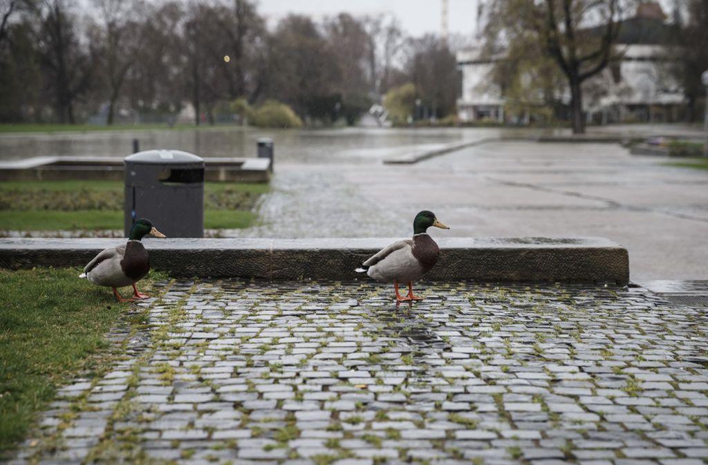 Enten machen sich auf den Weg in die Fußgängerzonen Foto: Lichtgut/Julian Rettig