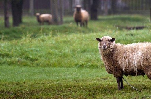 Ein Schaf hält die Polizei auf Trab