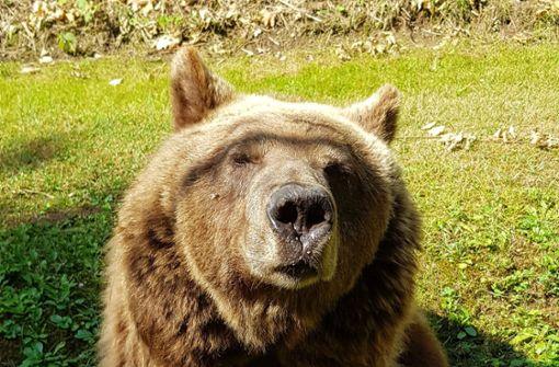 Zwölfjähriger trifft in Dolomiten auf Braunbär
